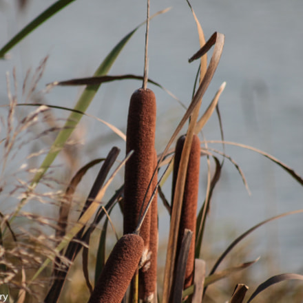 Reed in the wind, Canon EOS 1100D, Canon EF 80-200mm f/4.5-5.6