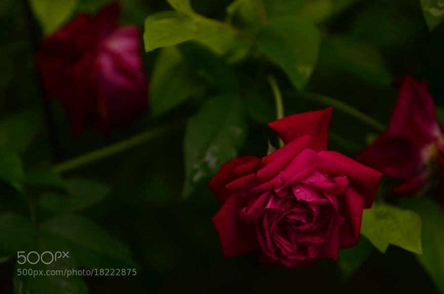 Photograph Rose by Jorge Norges on 500px
