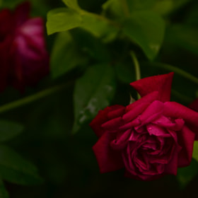 Rose by Jorge Norges (JorgeNorges)) on 500px.com
