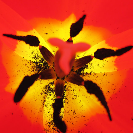 Tulipano rosso, Canon POWERSHOT A3400 IS