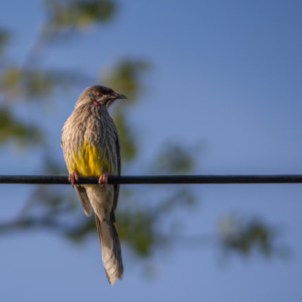 Bird On A Wire, Canon EOS 700D, Canon EF 100-300mm f/4.5-5.6 USM
