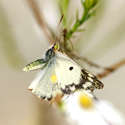 Colias Hyale in Flight, Canon EOS 600D, Tamron SP AF 90mm f/2.8 Di Macro