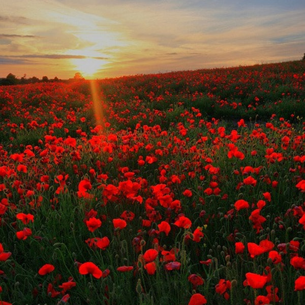 Dorset Poppies