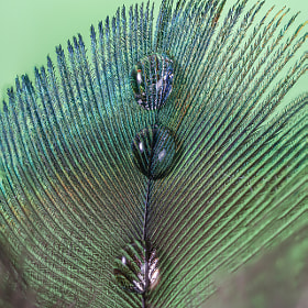 peacock's feather with waterdrops