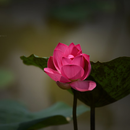 My favorite flower, Nikon D600, AF Nikkor 50mm f/1.8 N