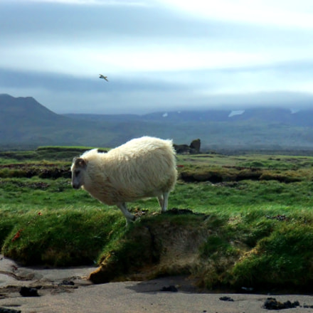 An Icelandic Sheep, Fujifilm FinePix F200EXR