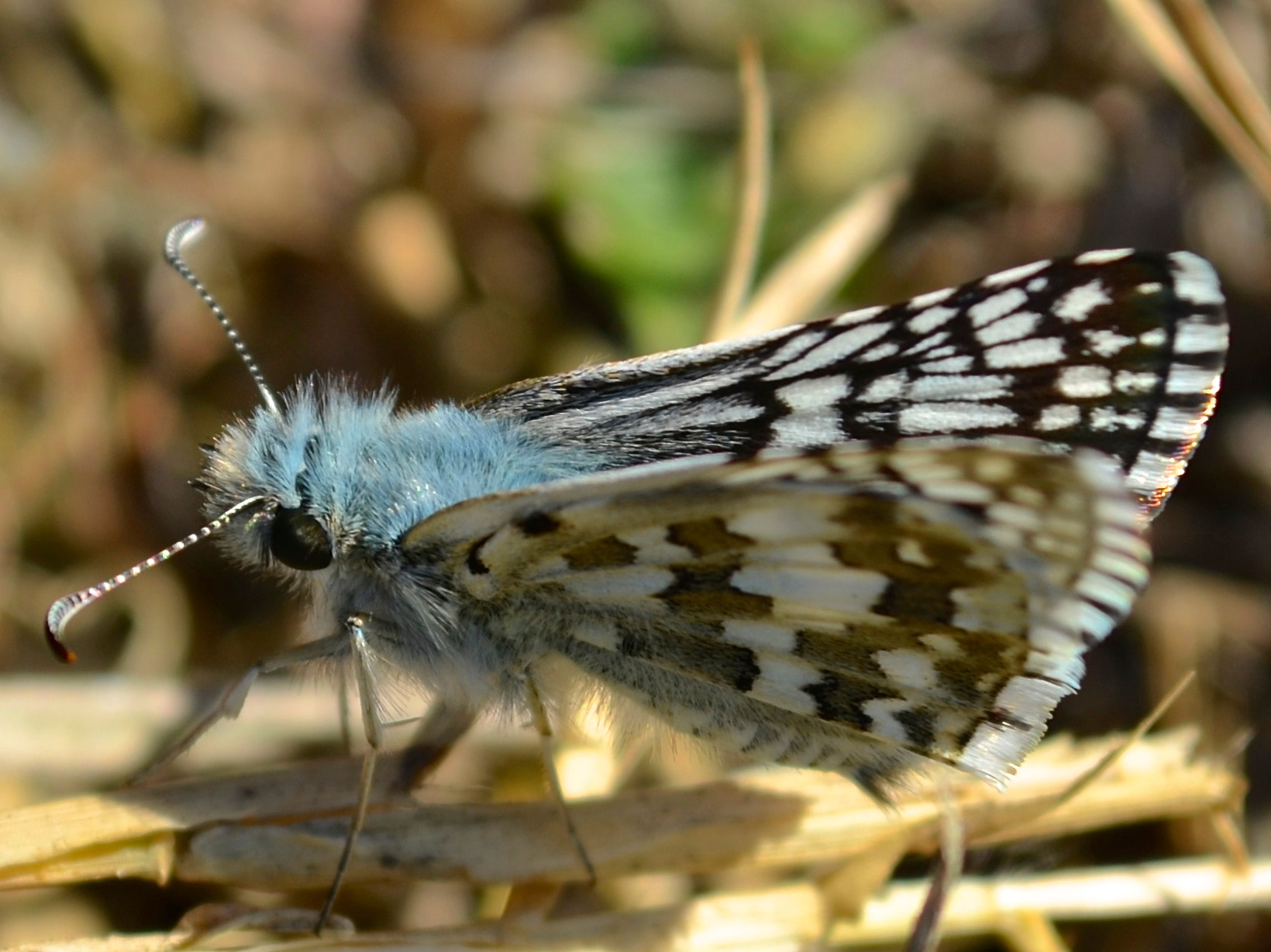 Photograph Checkered Skipper by Steven Bach on 500px