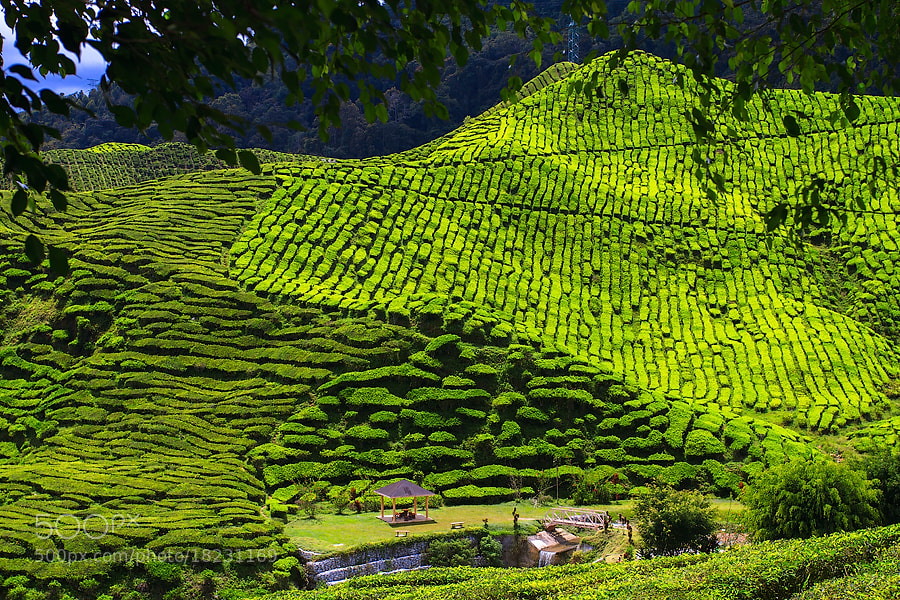 Photograph Tea Leaves by Dmitry Serbin on 500px