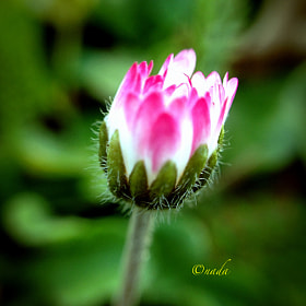 Flower by Nada Leva (NadaLeva1)) on 500px.com