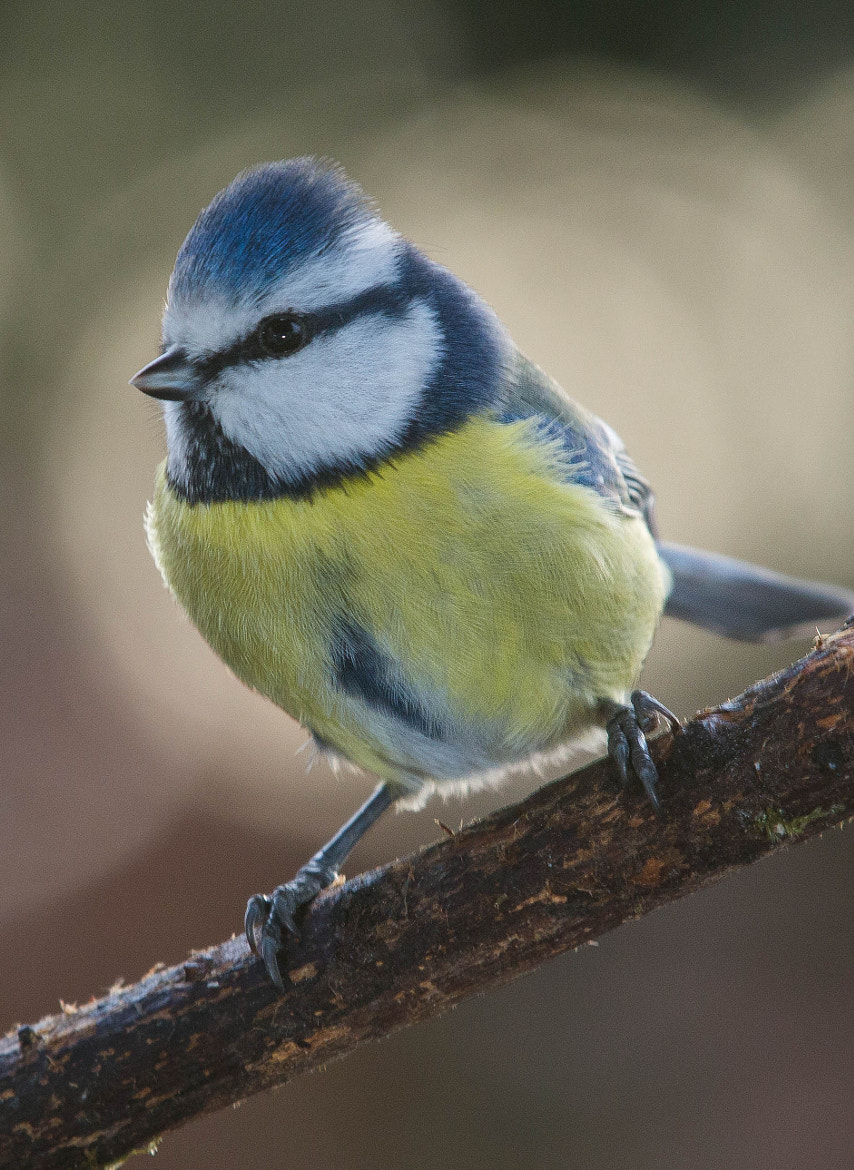 Photograph Blue Tit v2 by Lars Barstad on 500px