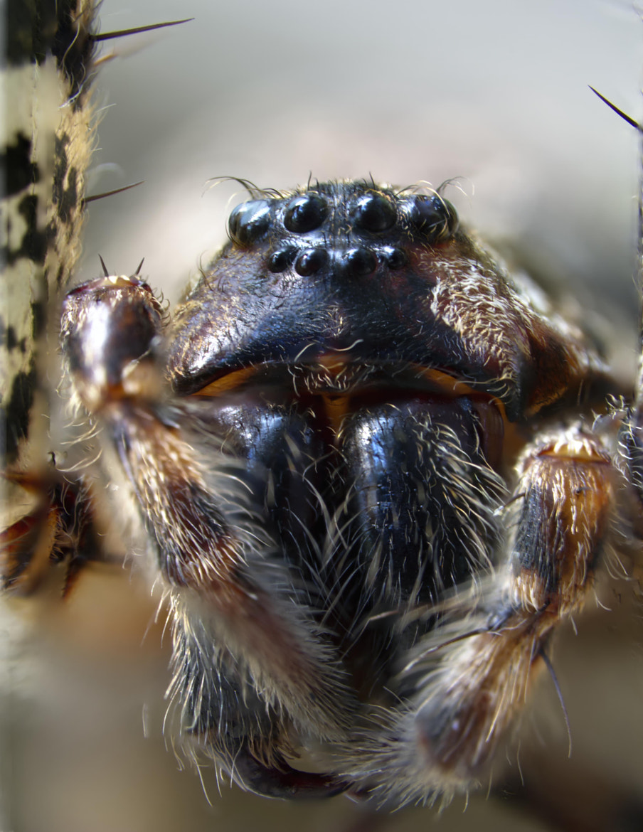 Photograph Brown Grey Fishing Spider by Matt H on 500px