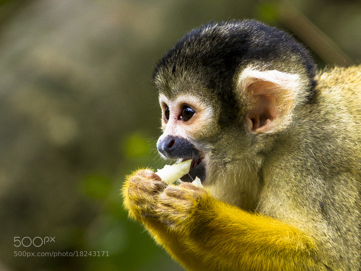 Photograph Black-Capped Squirrel Monkey by Simon Tranbjerg Vammen on 500px