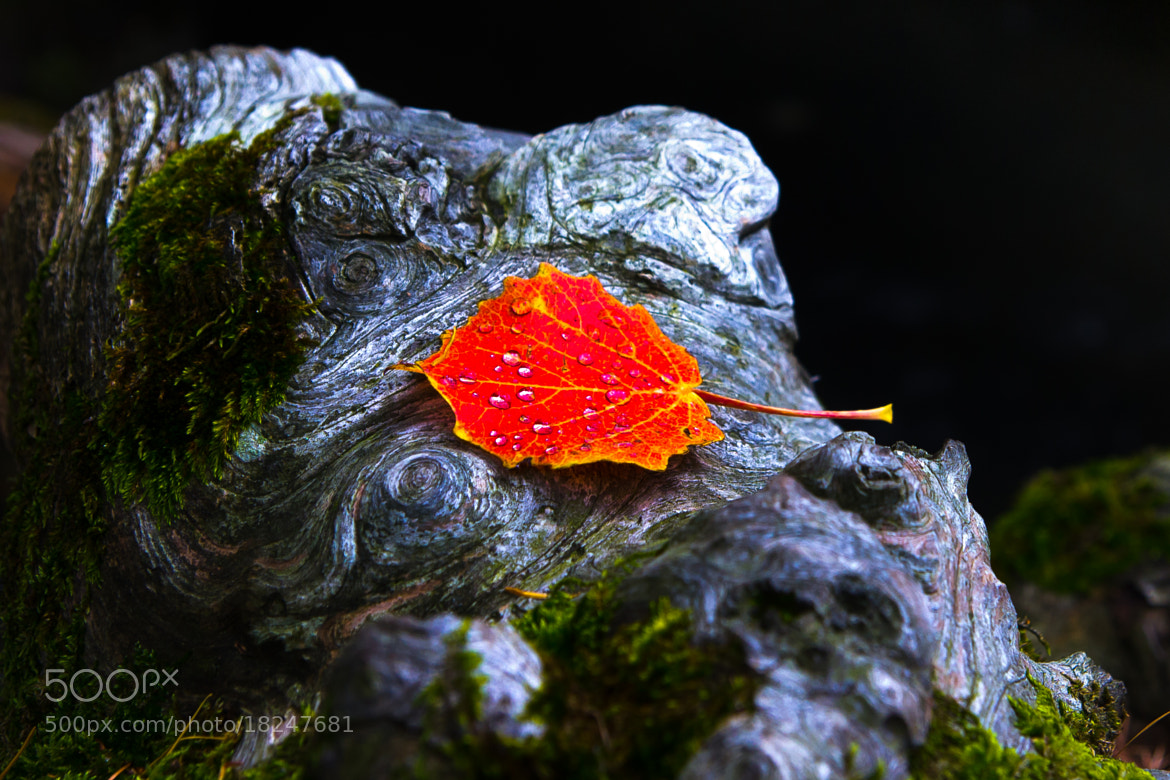 Photograph Red Leaf by Ralph Reichert on 500px