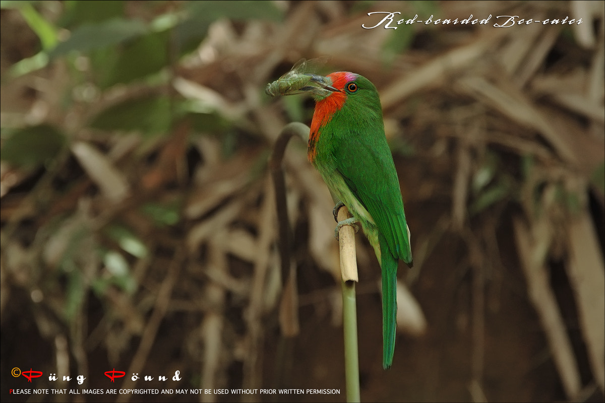 Photograph Red-bearded Bee-eater by Wiriya Sakulthai on 500px