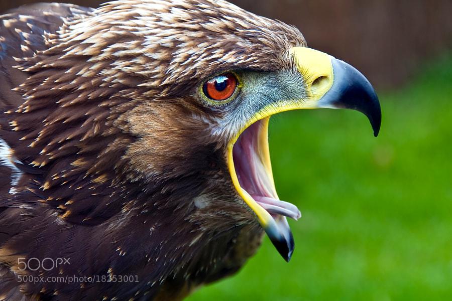 Golden/steppes eagle
