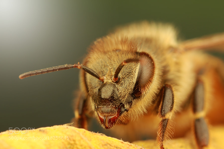 Photograph Bee by Benjamin Puppel on 500px