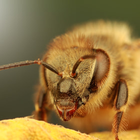 Bee by Benjamin Puppel (Benjamin_Puppel)) on 500px.com