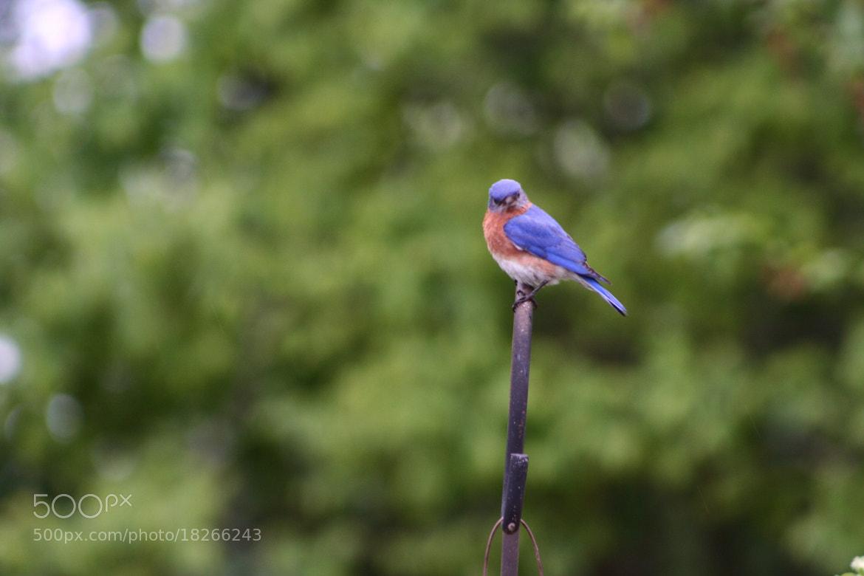 Photograph Bluebird Stare Down by Caleb McKnight on 500px
