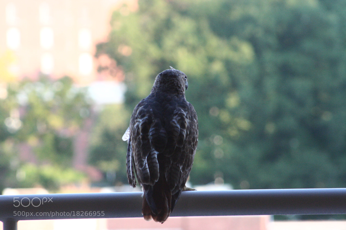 Photograph Hawk Perched by Caleb McKnight on 500px