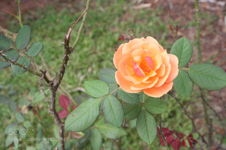 Photograph Orange Rose by Caleb McKnight on 500px