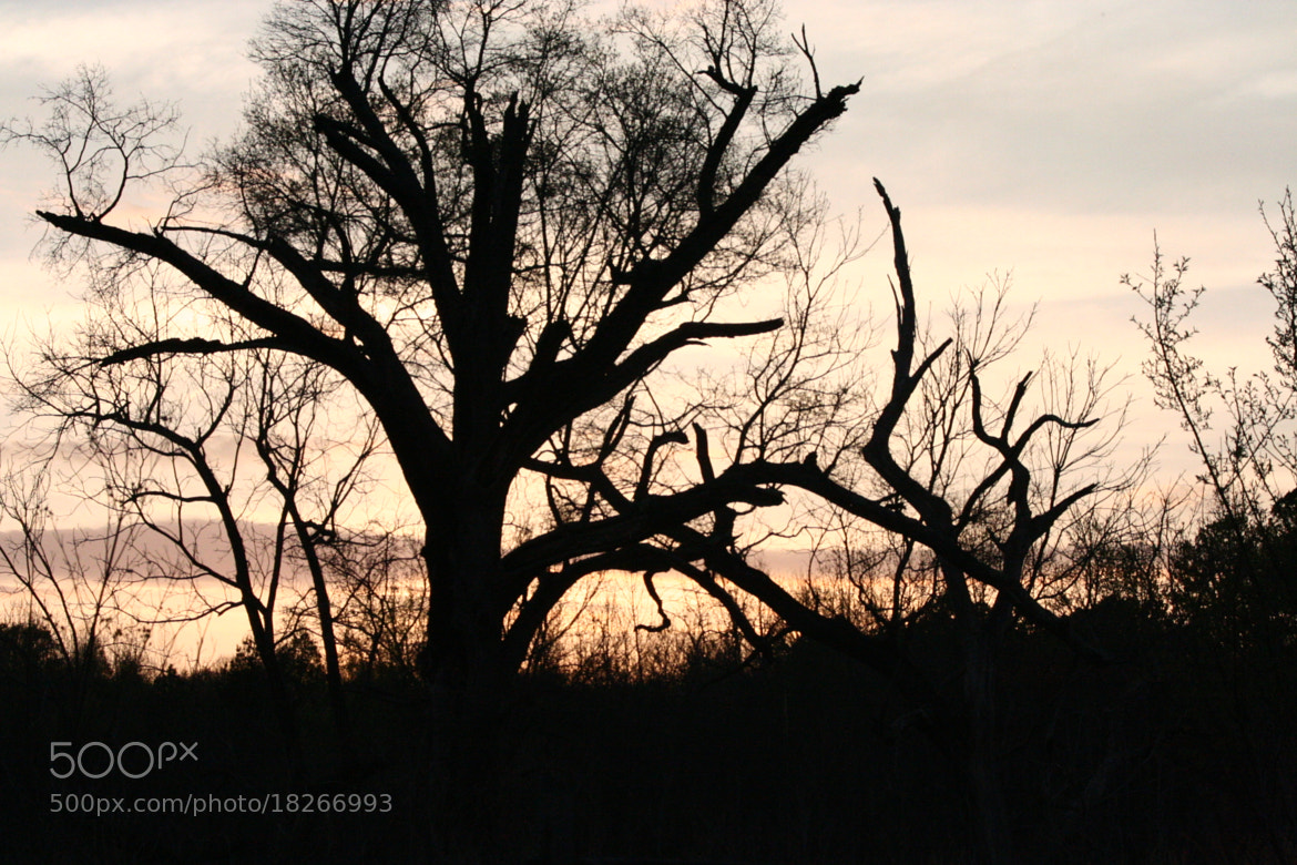 Photograph Tree Silhouette  by Caleb McKnight on 500px