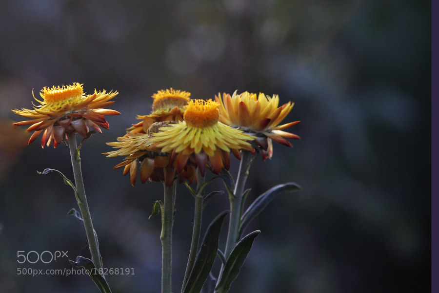 Photograph field flowers by Cristobal Garciaferro Rubio on 500px