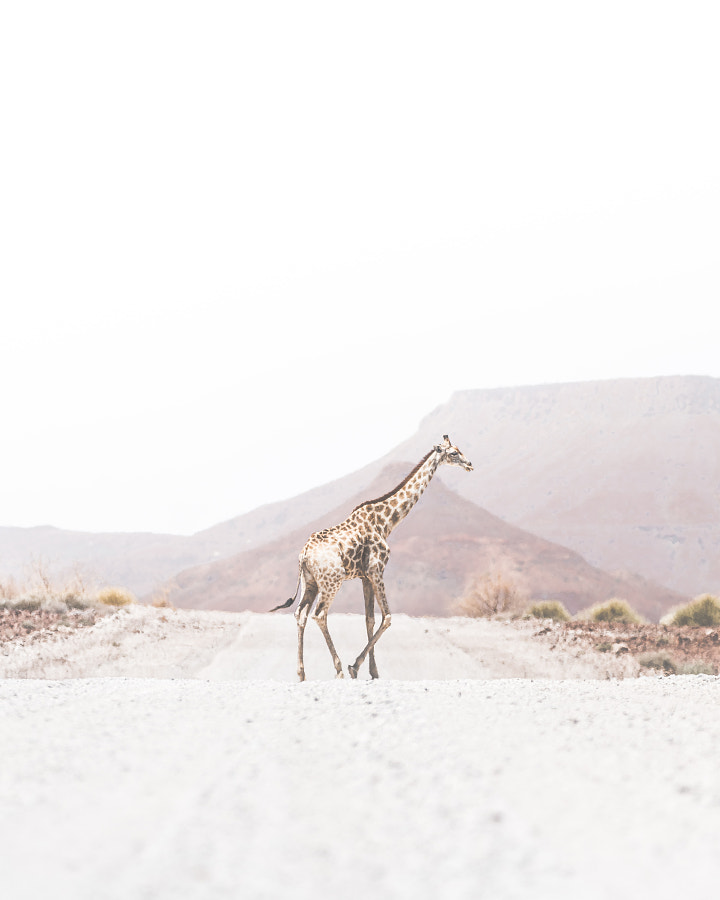 Why did the Giraffe cross the road? by Donal Boyd on 500px.com