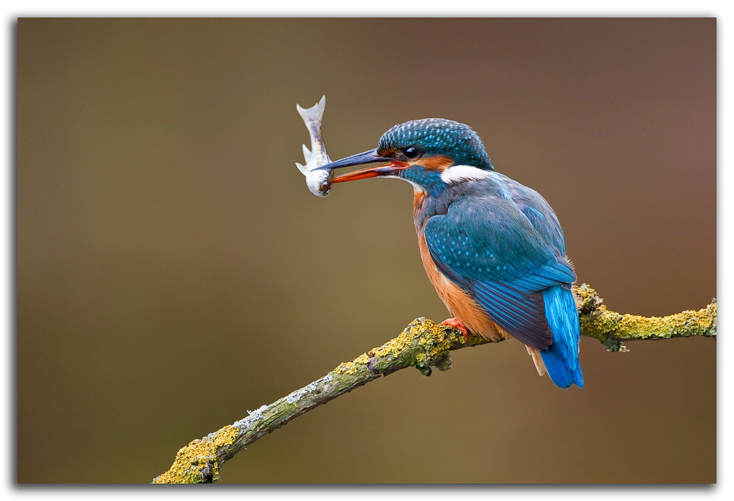 Photograph Common Kingfisher by David Whistlecraft on 500px