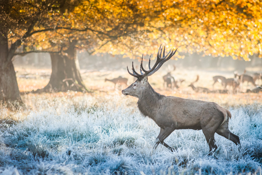 Deer through the frosty grass by Allan Lindy on 500px.com