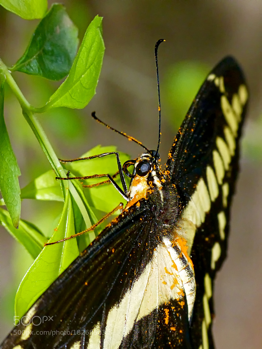 Photograph King Swallowtail by Pedro Henrique Evangelista on 500px