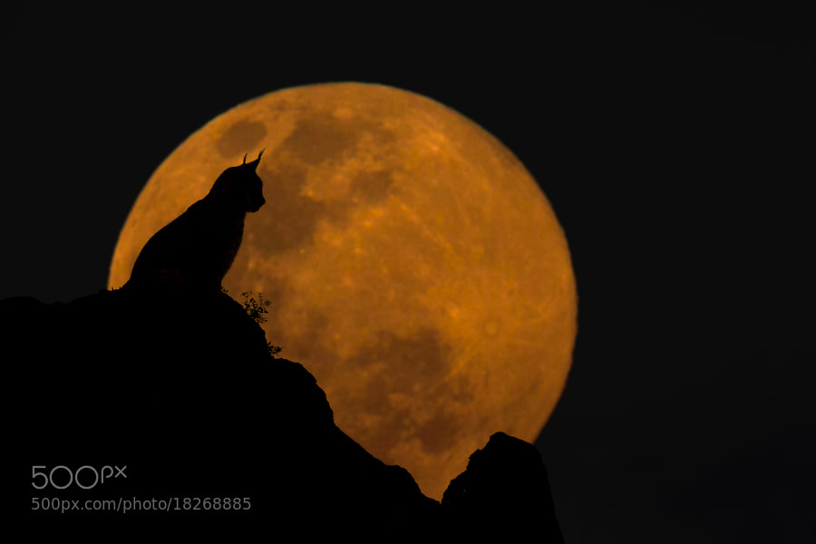 Photograph The Lynx & The Moon by Mario Moreno on 500px