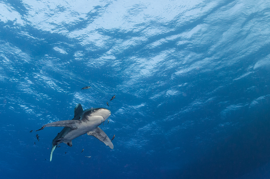 Oceanic White Tip cruising in Red Sea