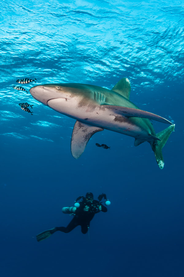 Oceanic whitetip and underwater photographer