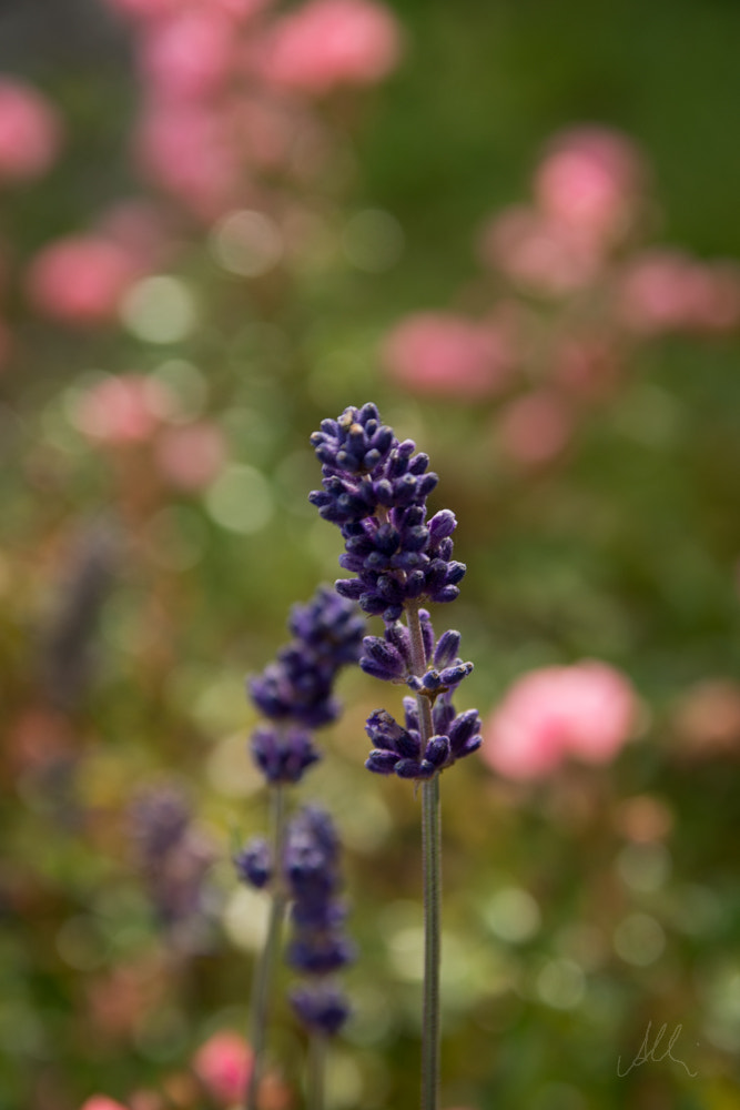 Photograph lavender by Albin Brunnbauer on 500px
