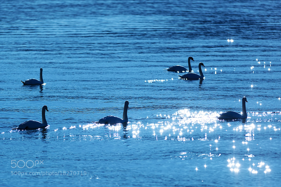 Photograph Swans in the lake by MIYAMOTO Y on 500px