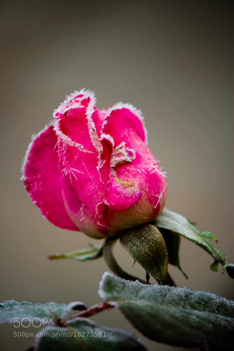 Photograph Morning rose by Tanasa Alin on 500px