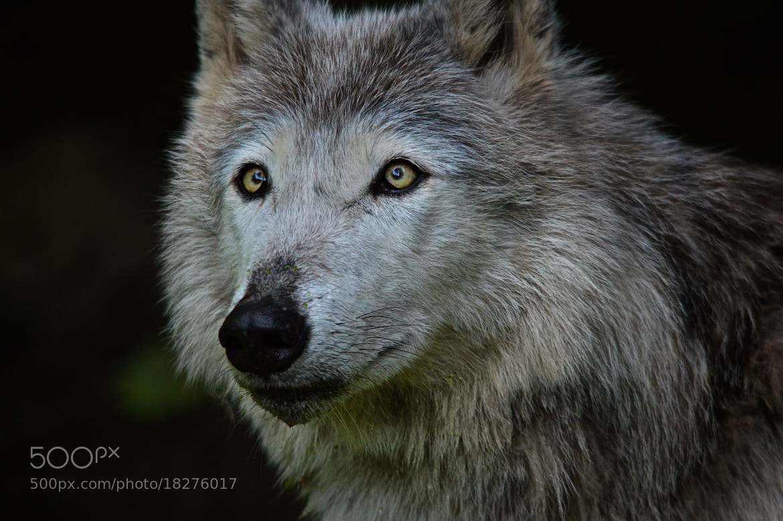 Photograph Wolf by Stojak Nikola on 500px