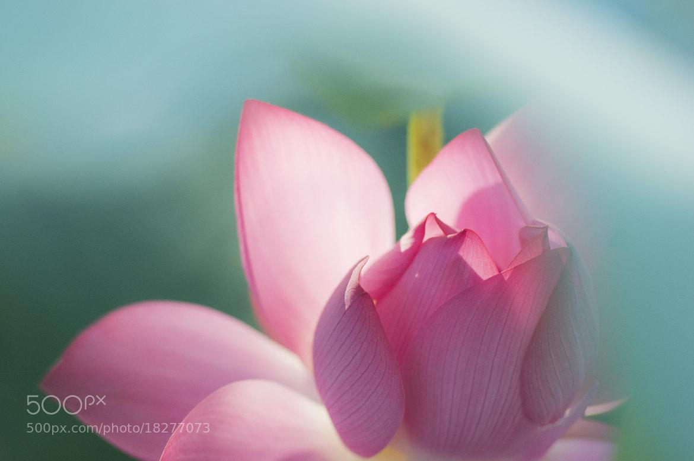 Photograph Lotus in Jhongsing Village, Taiwan by Red Bean Liu on 500px