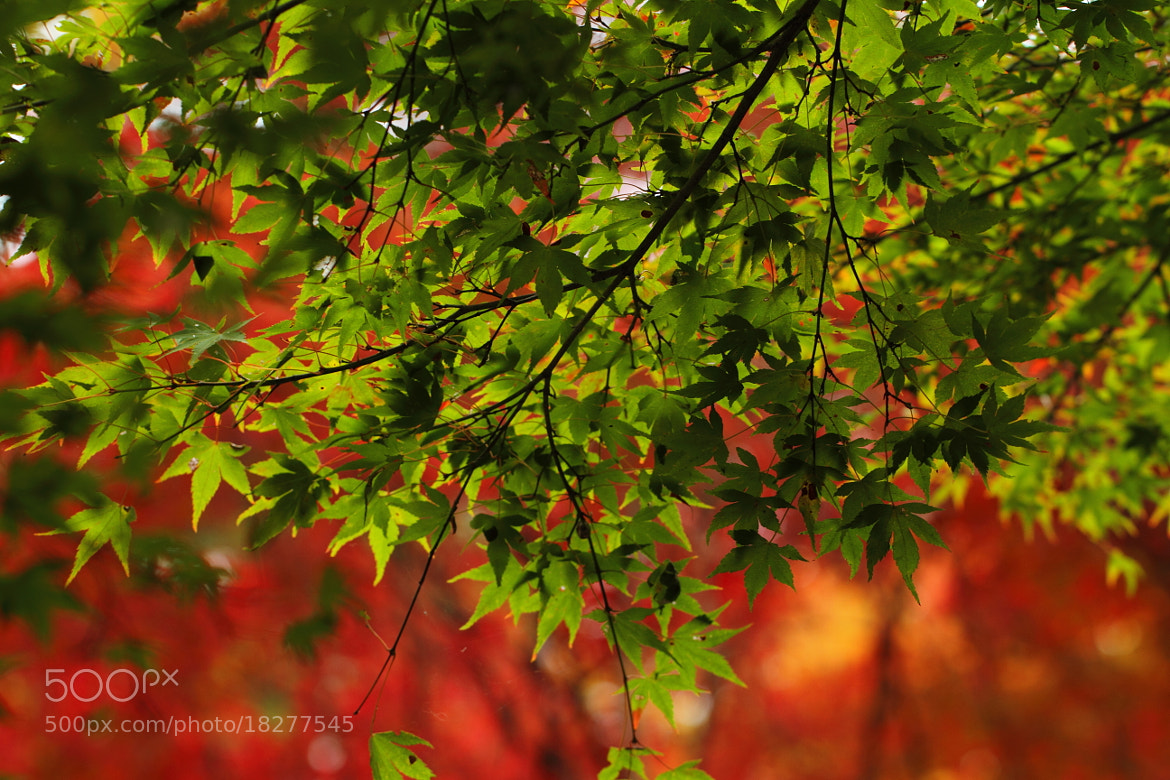 Photograph Japanese maple leaves in Fall by Tetsuya Katsuge on 500px