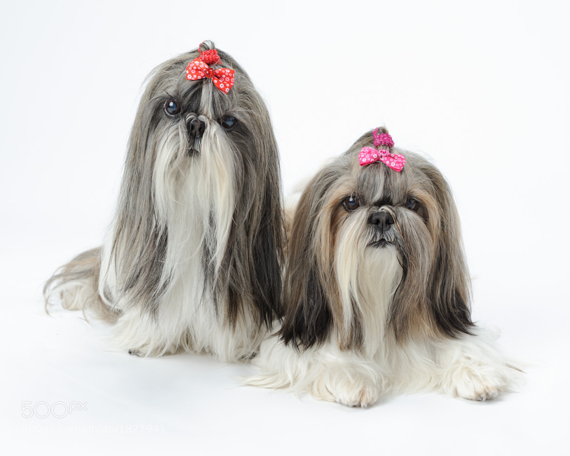 Photograph Shih Tzu dogs by Glenn Nagel on 500px