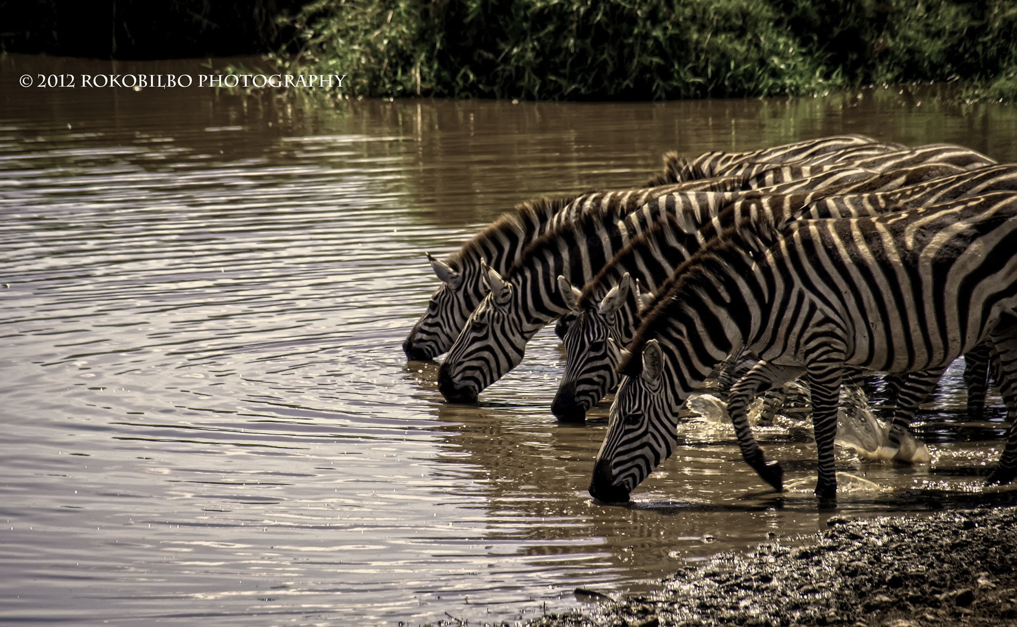 "Photograph Herd of zebras drinking... by Jose Antonio Polo ""Rokobilbo"" on 500px"