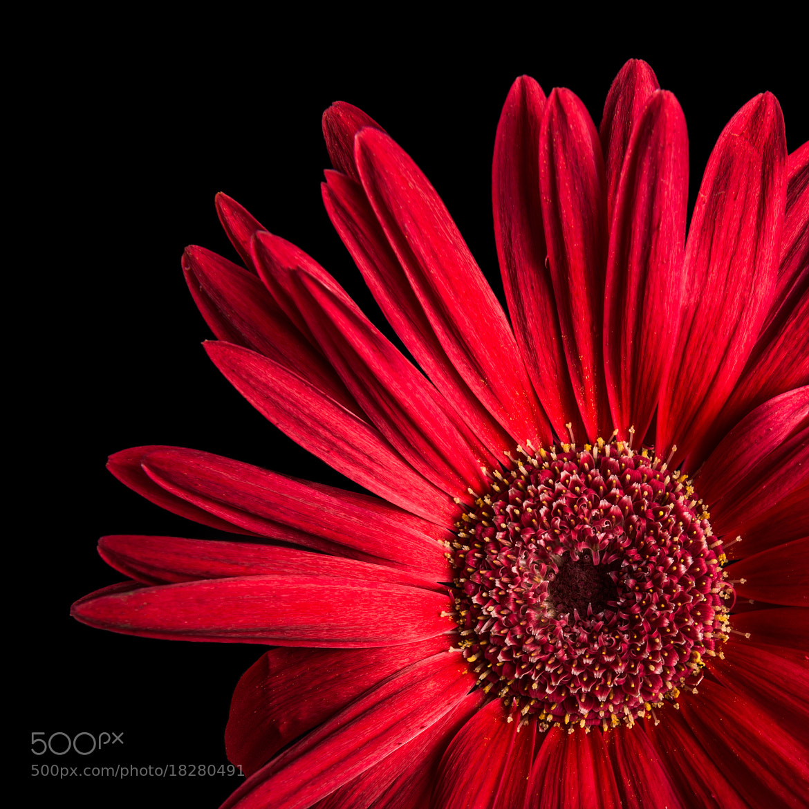 Photograph Gerbera on Black by Petri Damstén on 500px