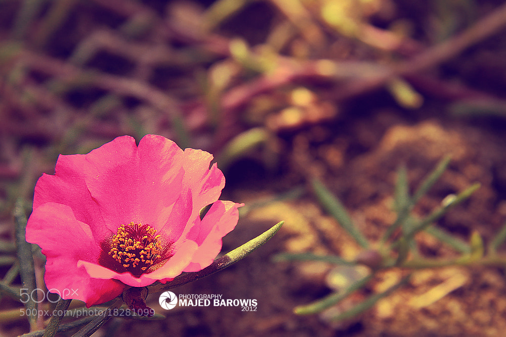 Photograph Pink flower by Majed Barowis on 500px