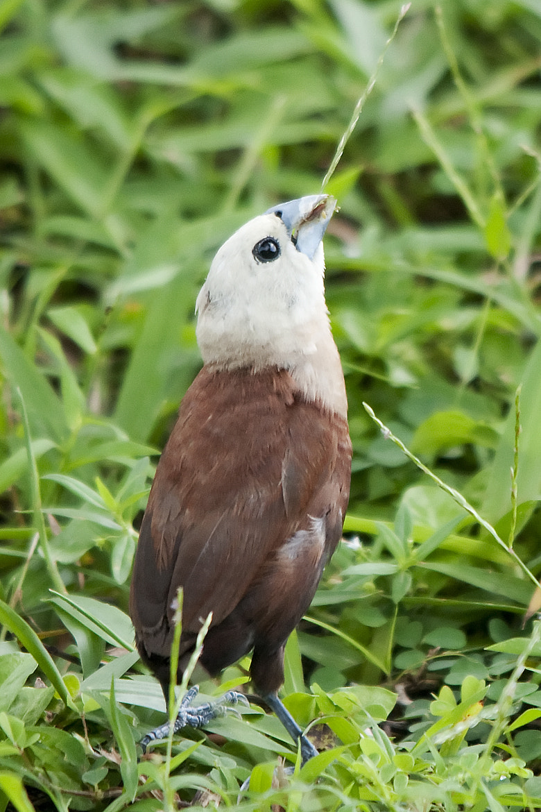 Photograph White headed Munia by Allan Seah on 500px