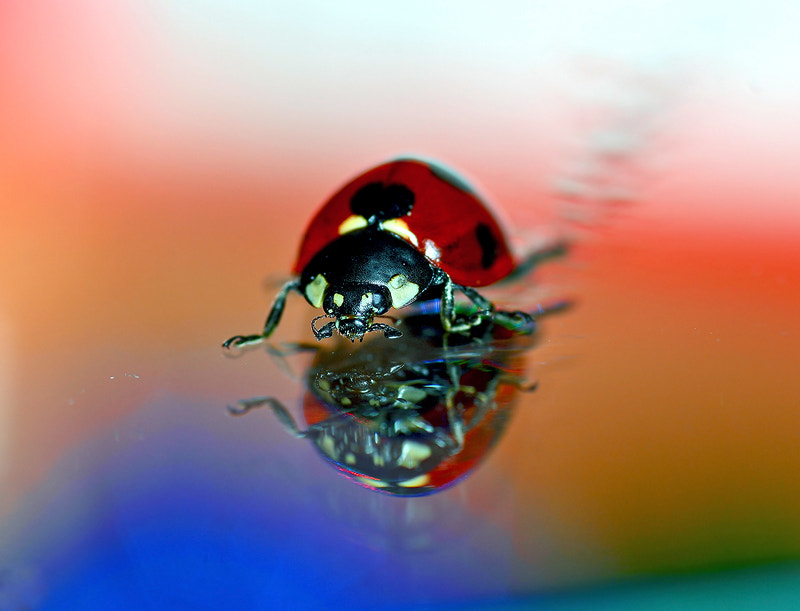 Photograph ((...LADYBUG...)) by Bu Balus on 500px