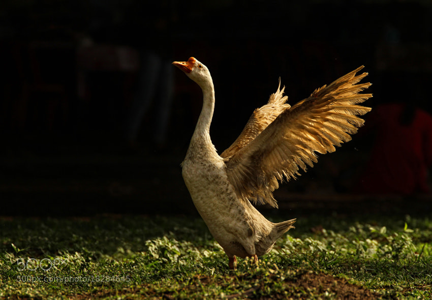 Photograph Flapping wings by Eddy Ngadiwidjaya on 500px