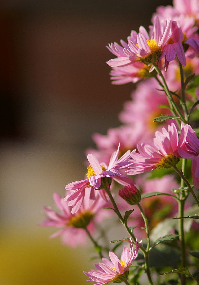 Photograph chrysanthemum_01 by James Chow on 500px