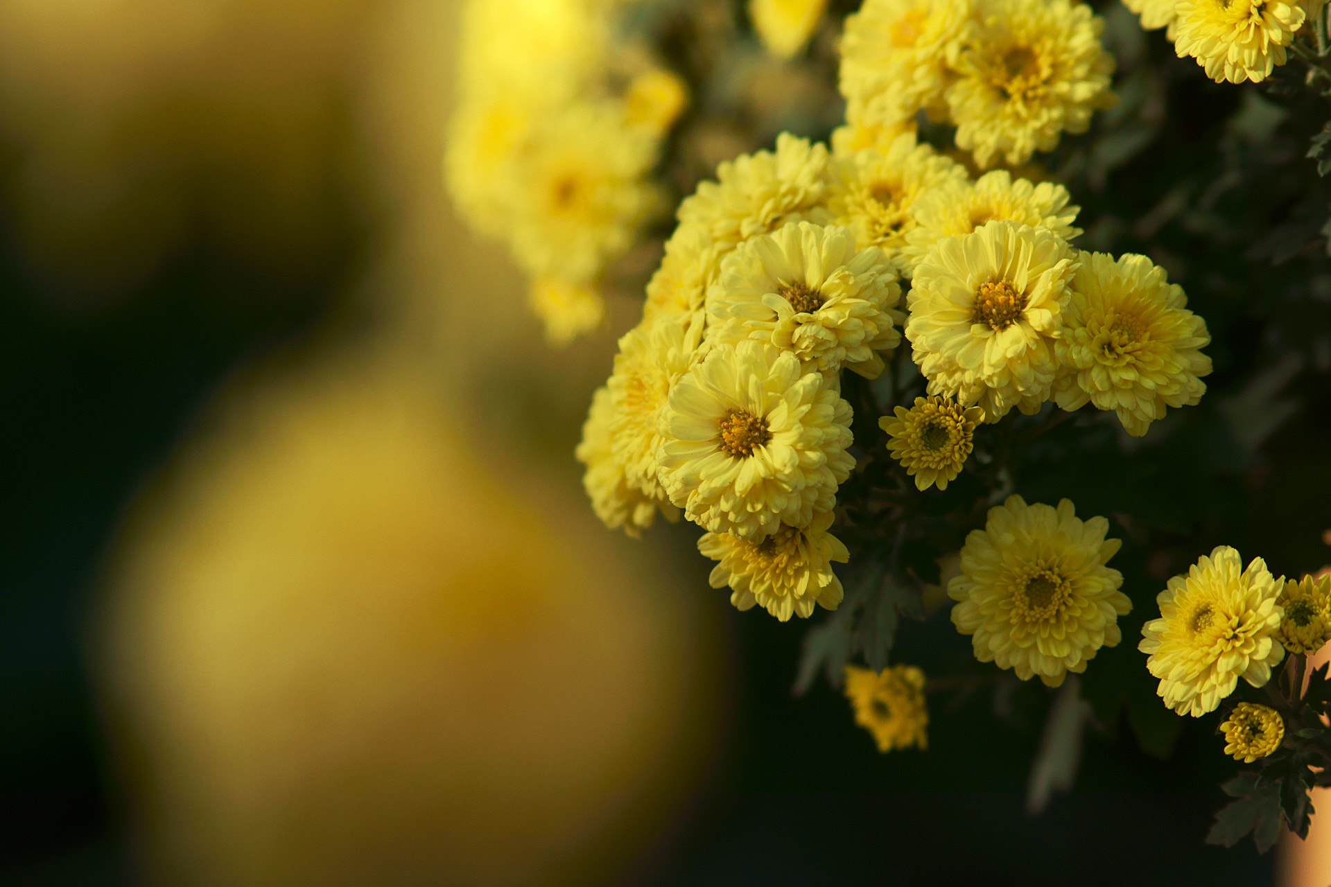 Photograph chrysanthemum_02 by James Chow on 500px