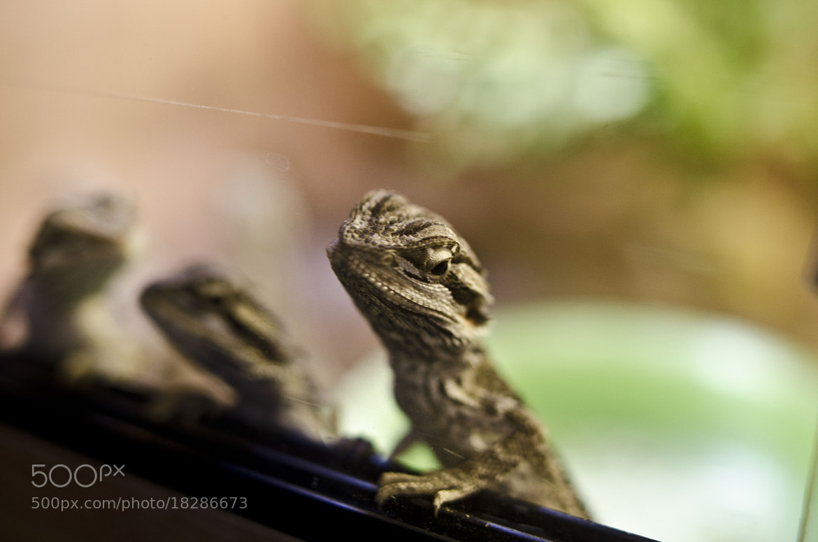 Photograph Baby Bearded Dragon by Ellie Melling on 500px