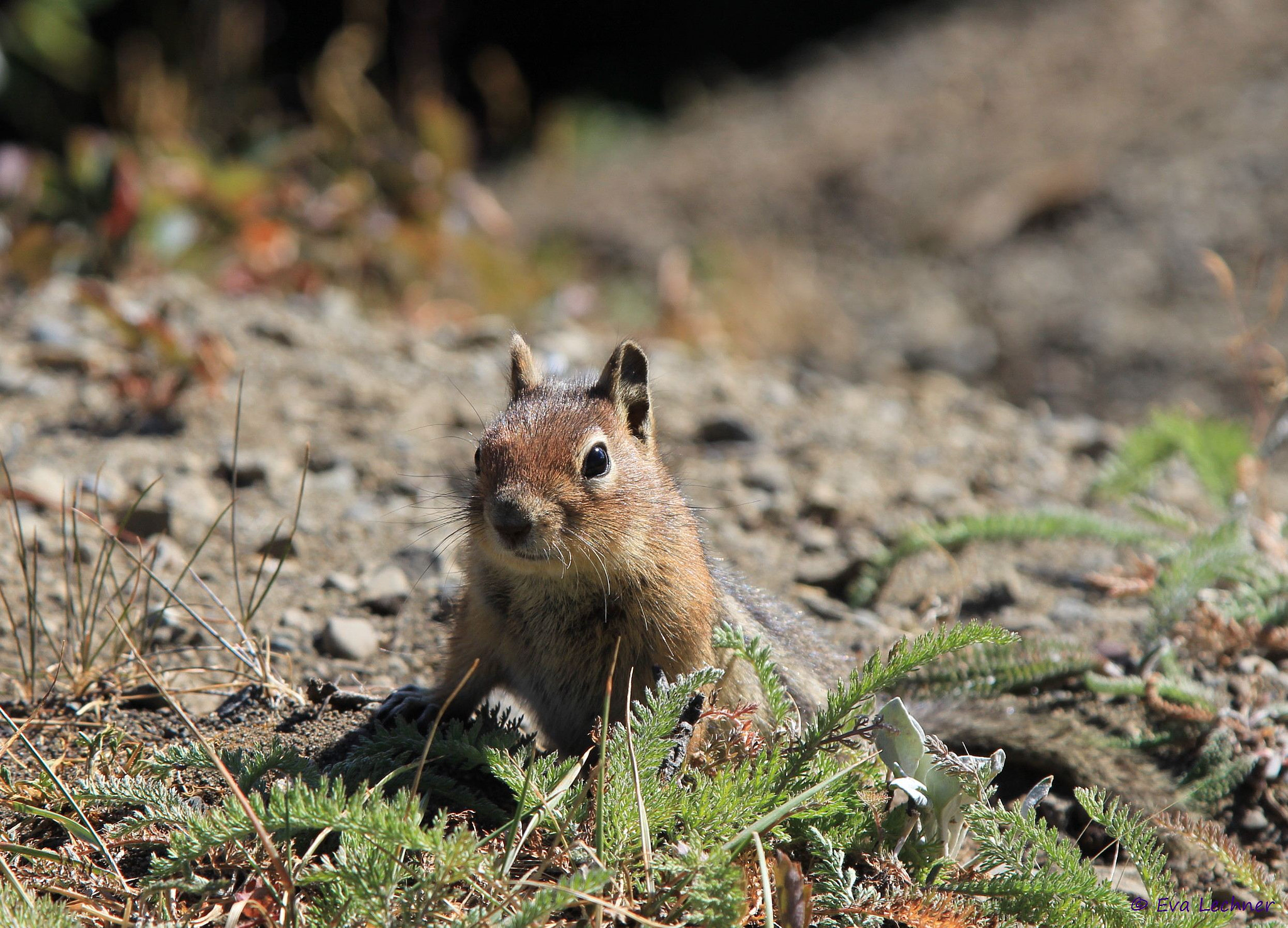 Photograph Golden-manteld squirrel by Eva Lechner on 500px